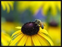 IMG_8321 Finger Licking Good 7-29-15 (arkansas traveler) Tags: bee honeybee bichos bugs insects flowers blackeyedsusan nature naturewatcher bokeh bokehlicious zoom telephoto natureartphotography yellow