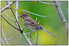 Field Sparrow (EXPLORE, Oct. 20th, #88) (RKop) Tags: a77mk2 600mmf4apogminolta raphaelkopanphotography armlederpark cincinnati ohio sony
