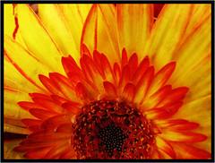 Fleur de feu -  Flower fire (diaph76) Tags: fleurs flowers textures rouge red jaune yellow gerbera