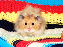 A little boy called Gucio (pyza*) Tags: gucio hamster hammie chomik syrianhamster animal pet boy muppet fluffy furry cute adorable monster