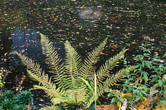 October motives: The fern and a pond mosaic (smir_001 (on/off)) Tags: october autumn garden botanical park victoria bath plants england british canoneos7d victoriapark botanicalgarden flora leaves colours nature outdoors bathnes somerset ferns uk colorful bench pondwater water landscape natureabstracts abstract britishgardens autumnalmosaic mosaic