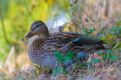 Frulein Ente (MaikeJanina) Tags: ente stockente duck bird natur nature birding