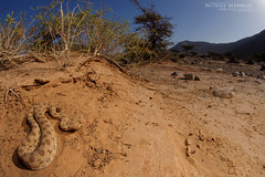 Sahara horned viper in habitat (MP7Aquit) Tags: marocco marruecos sahara occidental sony alpha a7ii trip herpto herpeto 2016 nature field herp herping wildlife ff 24x36 full frame macro sonya7ii sonyalphaa7ii animal animaux sonya7mk2 sonyalpha7mark2 sonyalpha7ii 7ii 7mk2 sonyilce7m2 maroc morocco serpent serpente snake serpentes snakes vibora  venin venimeux venimous venon venomous poisonous serpents horned viper vipre  cornes saharahornedviper viprecornes cerastescerastes cerastes forme morph vbora cornuda del desierto vboracornudadeldesierto sigmaobjectiffisheyedg15mmf28 sigma15mmf28exdgdiagonalfisheye fisheye 15 mutilata sanscornes form