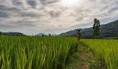Walking in Fields (Padmanabhan Rangarajan) Tags: araku villagers tribal rural india vizag valley nature scenery portraiture paddy