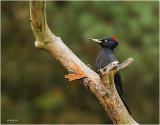 Black Woodpecker - Zwarte Specht 211016(1)