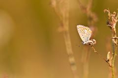 IMG_6938 (adrien.pcctt) Tags: papillon insecte argusbleu