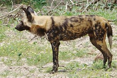 Side View Of A Male Painted Hunting Dog (Botswana) (Susan Roehl 4M views) Tags: male ngc moremigamereserve paintedhuntingdog specanimal ngamiland botswana2013 strongsocialbonds