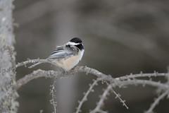 Black-capped Chickadee_44312.jpg (Mully410 * Images) Tags: winter snow cold tree bird minnesota birds branch birding chickadee lichen birdwatching blackcappedchickadee birder songbird saxzimbog