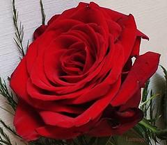 La rosa no deja de ser hermosa por que tenga  espinas.... (Lumiago) Tags: flores rojo rosa excellentsflowers mimamorflowers mixofflowers rosesforeveryone