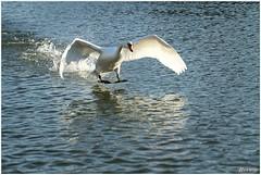 klaar om te landen (7D023376) (Hetwie) Tags: water swan pond vijver zwaan helmond wijkpark brouwhuis
