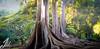 All Photos-974 (jmdarter) Tags: tree garden botanical hawaii bay fig sony kauai poipu fe banyan allerton moreton 2470 a7r