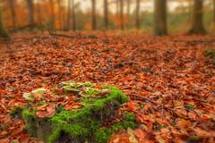autumn in a nutshell (caspervandeveen) Tags: autumn trees mushroom leaves mushrooms bomen herfst paddestoel paddestoelen bladeren