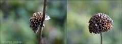 Von der Stange (pedschwork.fotodesign) Tags: braun blte trocken