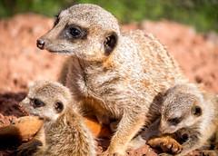 Dartmoor Zoo (funboothdevon1) Tags: meerkat dartmoor dzp benmee