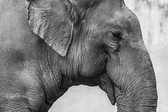 Elephas maximus - Dramatic Elephant (Alvaro Mecelis) Tags: elephant dramatic zoológico effect sorocaba maximus tromba elefante asiático elephas paquiderme