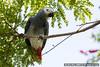 African grey parrot, grey parrot or Congo African grey parrot (Psittacus erithacus)_DSC2766-1
