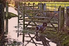Wet Walks (jayneboo) Tags: odc itsthelittlethings 365 mrts365 bertie cockerspaniel dog walks muddy wet puddles dogphotographyshropshire