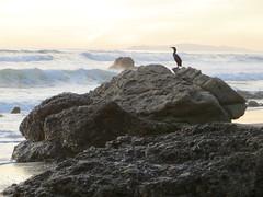 Cormorant on rock (Joel Abroad) Tags: california sunset bird beach santamonica pacificocean cormorant pacificcoasthighway