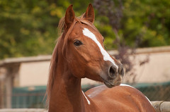 16972 (Ferchu65) Tags: espaa naturaleza caballos europa lugares evento 2014 castillaylen covarrubias temas animalesdomsticos viajesysalidas burgosprov modelosycaballosencovarrubias