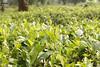 New Branch of life! (amrantex160) Tags: leaves tea newlight