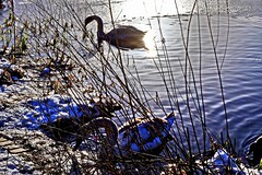 Swans in Winter Light (jacscot) Tags: winter nature pond swans fujifilm xe1
