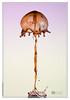 SSP_11366 (jeflabiausse) Tags: nikon waterdrop einstein droplet wassertropfen macrophotography highspeedphotography gouttedeau dropart liquidart liquidsculpture photographiehautevitesse sculptureliquide
