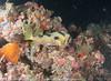 Diodon liturosus - poisson porc épic à taches auréolées - black blotched porcupinefish.jpg