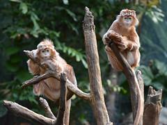 Just Hanging Out (Eddie C3) Tags: bronxzoo monkeys jungleworld wildlifeconservationsociety trachypithecusauratusauratus javanlutung ebonylangur