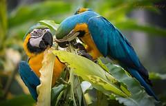 double macaw2 (aburayyan) Tags: park plants macro birds animals zoo nikon df micro malaysia fullframe nikkor fx lizards tress malacca aia dx