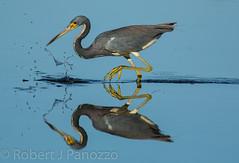 Splash - hsalpS {Explored} - {derolpxE} (ChicagoBob46) Tags: reflection bird heron sanibel sanibelisland tricoloredheron jndingdarlingnwr