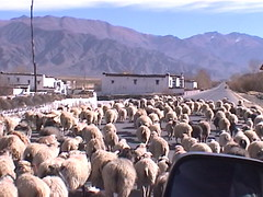 Tibetan Sheep Traffic Jam