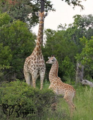 "Southern Giraffe ""Mom with Little One"" (girlslens) Tags: africa giraffe botswana okavangodelta chitabe southerngiraffe"