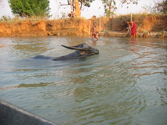 Ox Swimming in Lake Inle
