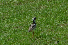 A Ground Bird