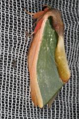 Notodontidae: Moresa magniplaga (K. Zyskowski and Y. Bereshpolova) Tags: brazil notodontidae amazonas phalerinae yavari javari palmari moresa magniplaga