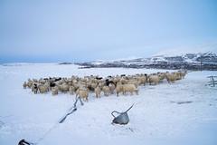 DSC01434 (ekremenak) Tags: photo iceland sheep 1502 150212