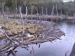 Beaver Dam in Tierra del Fuego