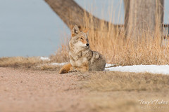 Female coyote relaxes in the morning sun