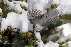 Titmouse 2 (Ted Ellis) Tags: snow ted bird photography backyard ellis titmouse