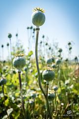 Poppies (piri198) Tags: flowers canon eos blumen poppies lightroom mohn 22mm efm eosm eosm3 lightroom6