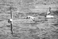 Sequence of flight (Mario Ottaviani Photography) Tags: sea blackandwhite bw white black monochrome grey freedom monocromo mare seagull gull ngc gray flight bn volo sequence tamron bianco nero gabbiano biancoenero sequenza sonyalpha