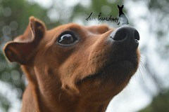 Lola (My Life With Lola) Tags: dog dogs nature photography miniature nikon pin canine min pinscher d3200