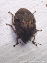 Beetle (Hickatee) Tags: forest rainforest belize wildlife culture toledo jungle puntagorda hickatee toledodistrict hickateecottages hickateebelize hickateepuntagorda