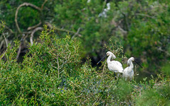 Eurasian spoonbill (Platalea leucorodia) (Andrea Bovolo) Tags: spoonbill bird wildlife lepelaar spatolabianca vogel rhenen utrecht netherlands nl nikon d7100 sigma 150600 sport
