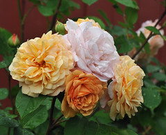 Rosa 'Evelyn' (Todd Boland) Tags: flowers rose rosa rosaceae