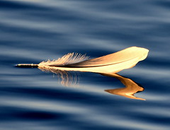 Feather/Reflection. (pstone646) Tags: feather water reflections lake nature simple floating kent