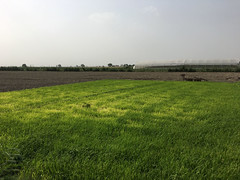 Grass Field (IFPRI-IMAGES) Tags: india plant field grass season village farm labor farming grow health crop produce agriculture yield cultivation sustainable pulses nutrition southasia manoli haryana fertile smallfarm sonipat foodsecurity agriculturaldevelopment micronutrients ifpri