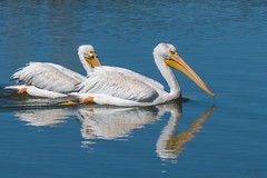 Two Teenaged Pelicans (MelRoseJ) Tags: redwoodcity california unitedstates nature sonyalpha sal70400g sony sonyilca77m2 a77ii autofocus alpha lasgallinas pelican