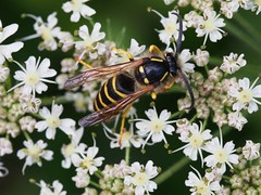 Taille (michaelmueller410) Tags: wespe insekt insect wasp flower blossom blüten harz osterode olympusepl5 fühler august sommer wald