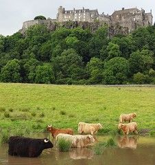 Pool party at Stirling Castle! Stirlingshire Scotland (cocopie) Tags: scotland cattle stirling highland stirlingshire stirlingcastle coos heilan